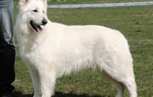 Pictures Of Berger Blanc Suisse