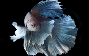 Pictures Of Betta