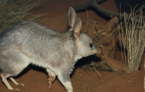 Pictures Of Bilby