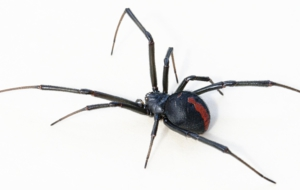 Pictures Of Black Widow