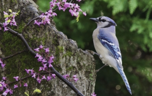 Pictures Of Blue Jay