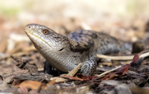 Pictures Of Blue Tongue Skink
