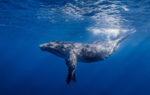 Pictures Of Blue Whale