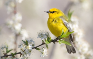 Pictures Of Blue Winged Warbler