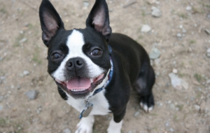 Pictures Of Boston Terrier