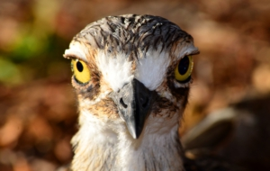 Pictures Of Bush Stone Curlew