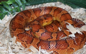 Pictures Of Corn Snake