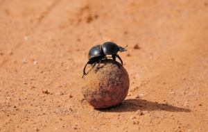Pictures Of Dung Beetle