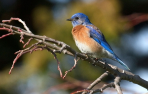 Pictures Of Eastern Bluebird