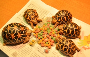 Pictures Of Indian Star Tortoise