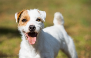 Pictures Of Jack Russell Terrie
