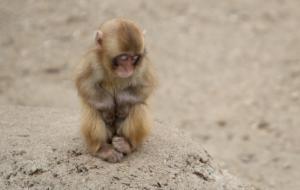 Pictures Of Japanese Macaque