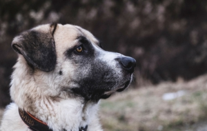 Pictures Of Kangal Dog