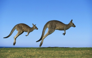 Pictures Of Kangaroo