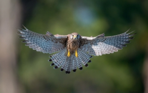 Pictures Of Kestrel
