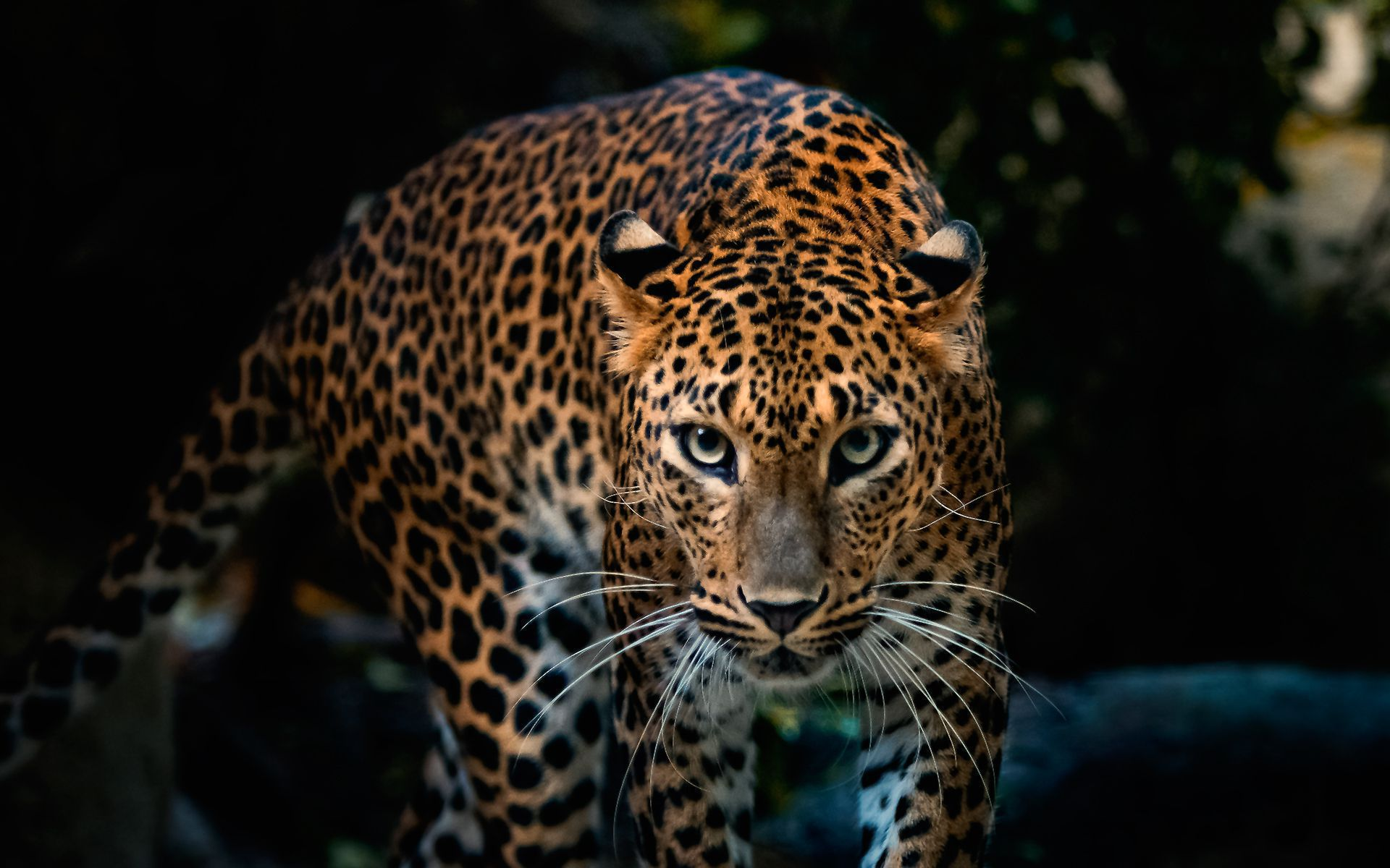 Big Cats Wallpapers And Backgrounds