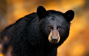 Black Bear Background
