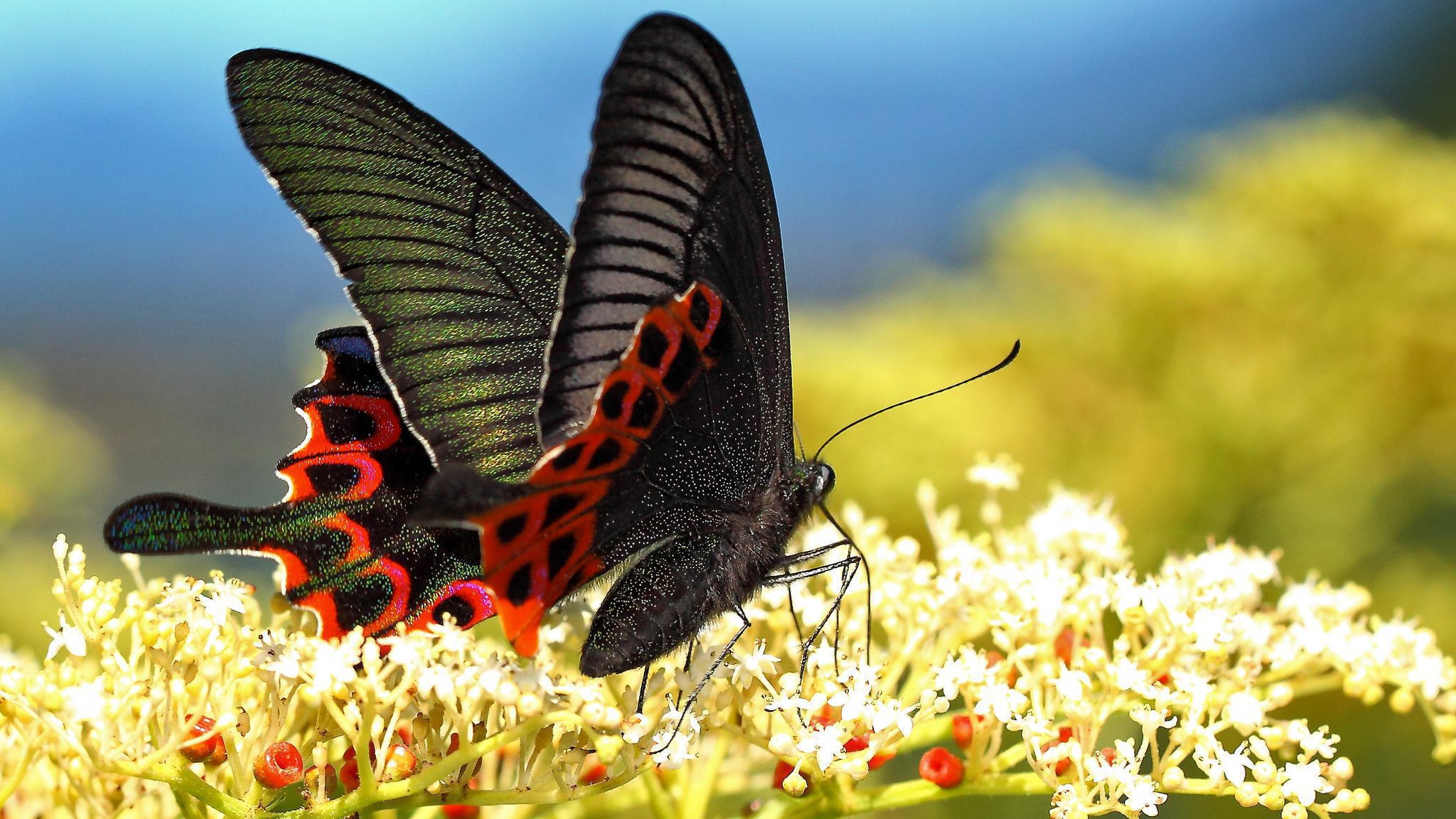 Black Butterfly Pictures