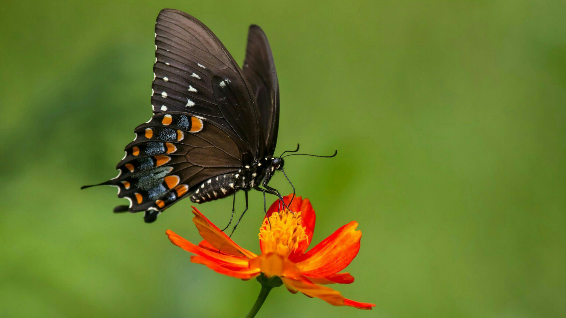Black Butterfly Wallpapers
