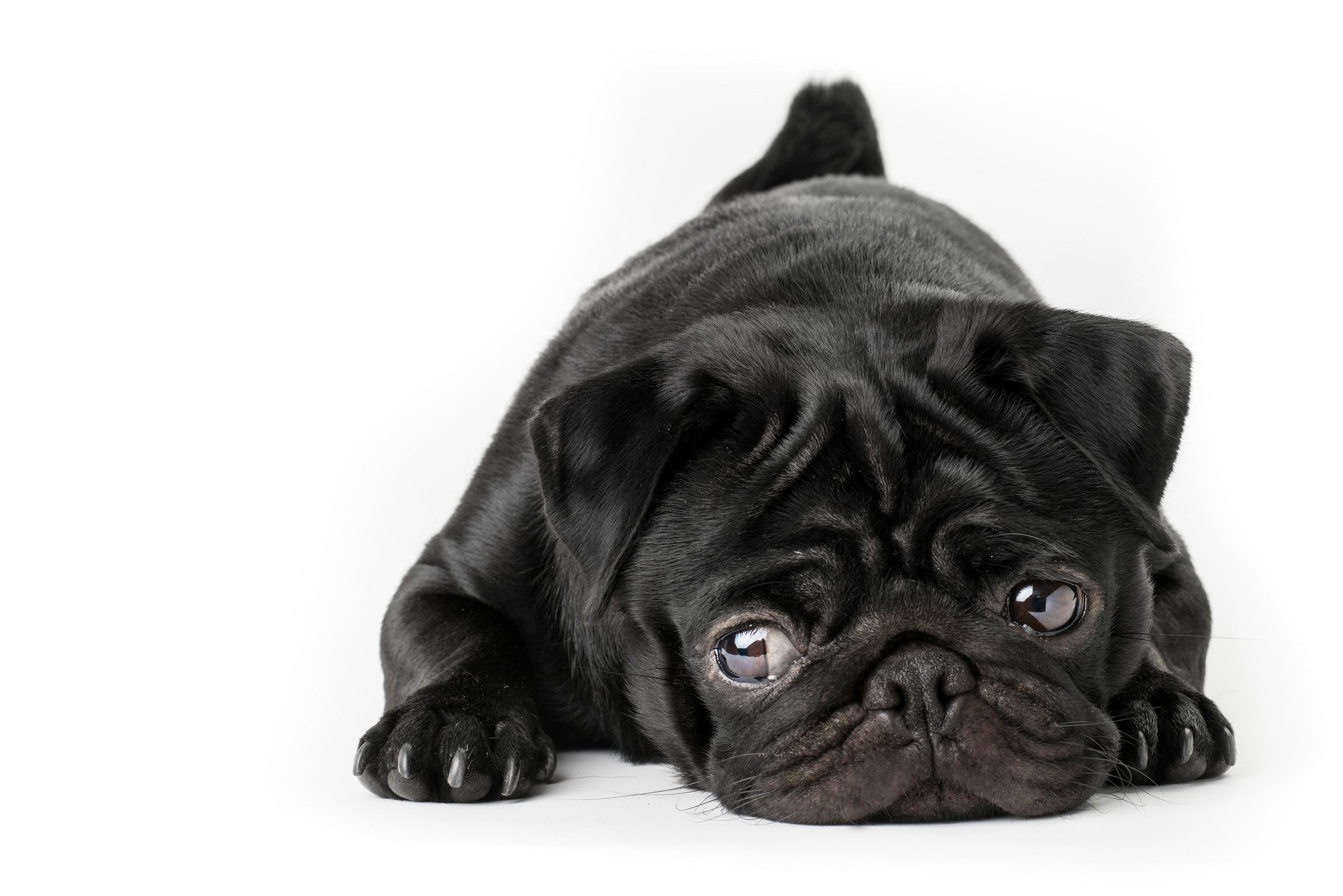 Black Pug Pictures