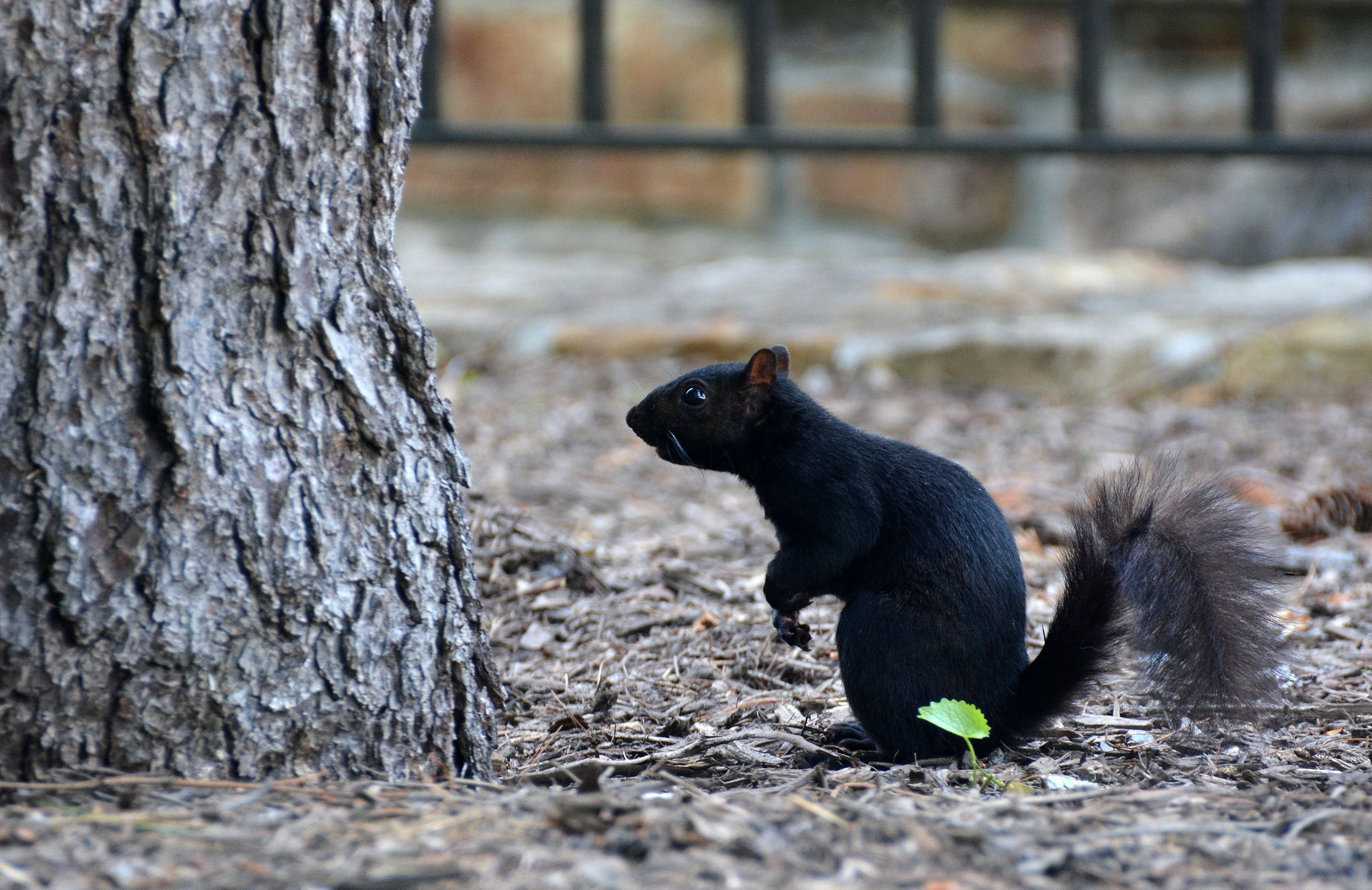 Black Squirrel High Quality Wallpapers