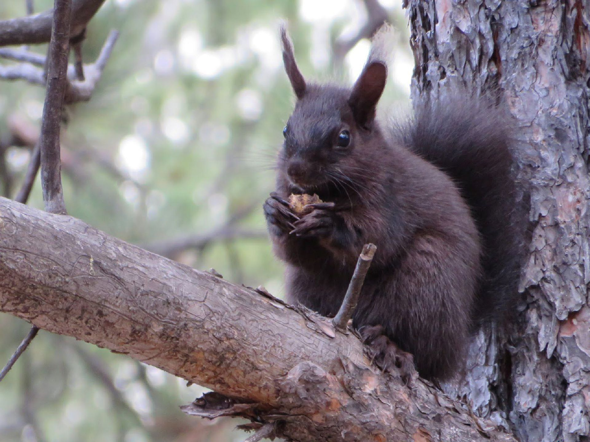Black Squirrel Wallpapers