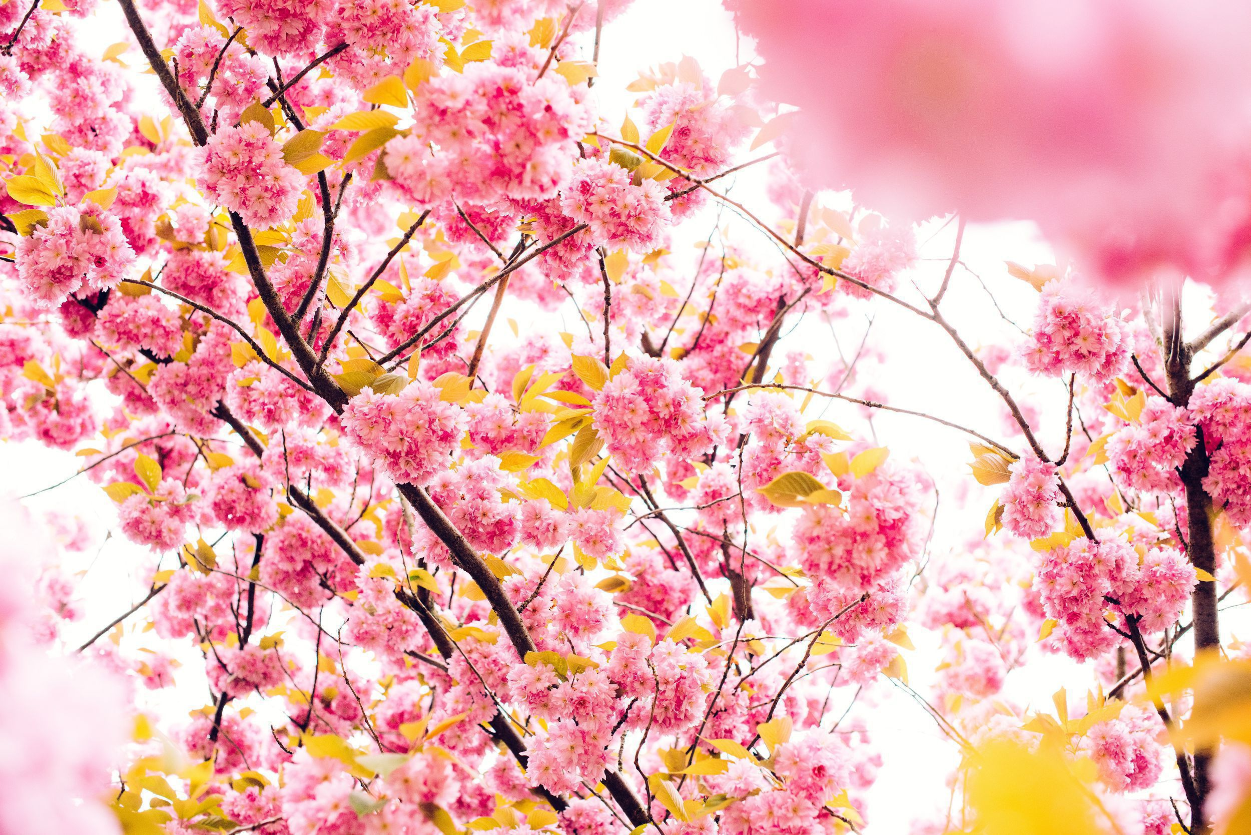 Blossoms HD Background
