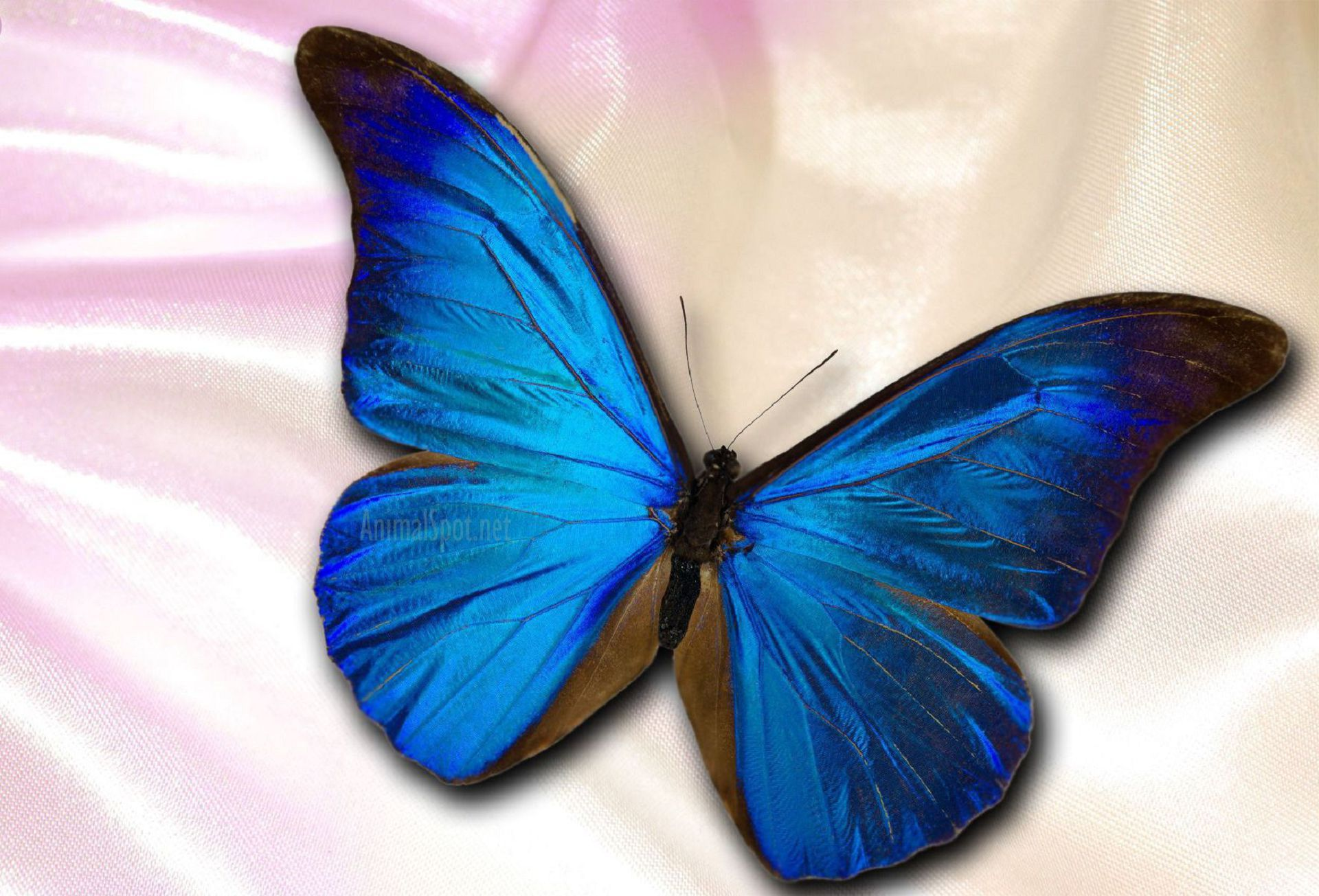 Blue Butterfly High Definition Wallpapers