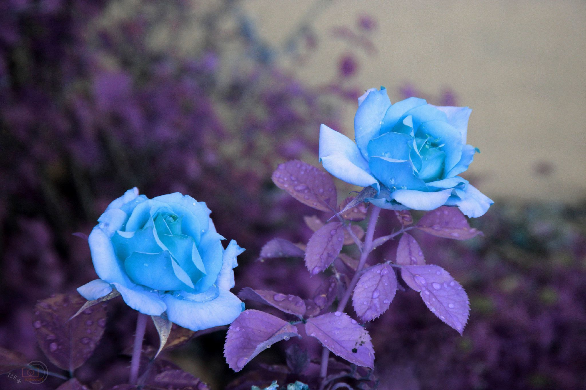 Blue Flowers Wallpapers And Backgrounds