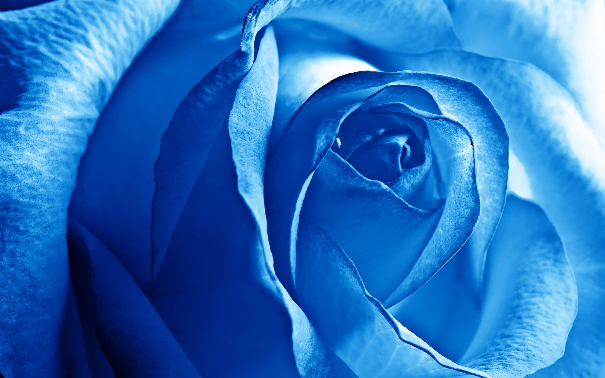 Blue Roses HD Background