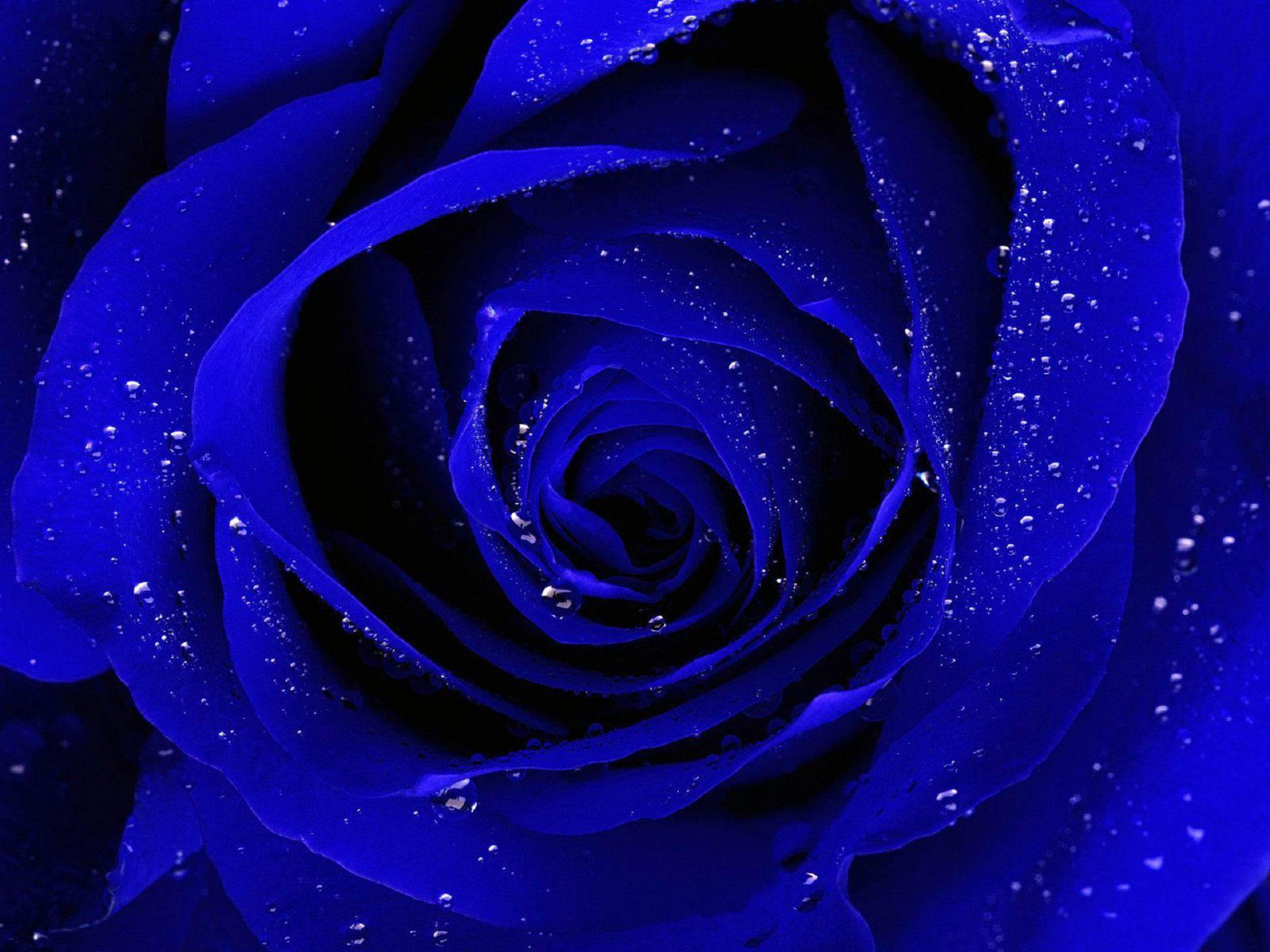 Blue Roses High Quality Wallpapers