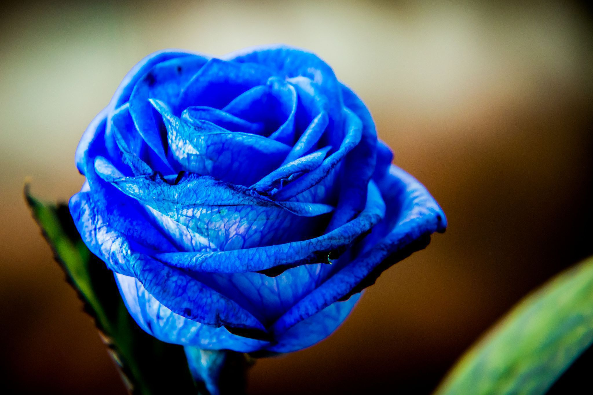 Blue Roses Images