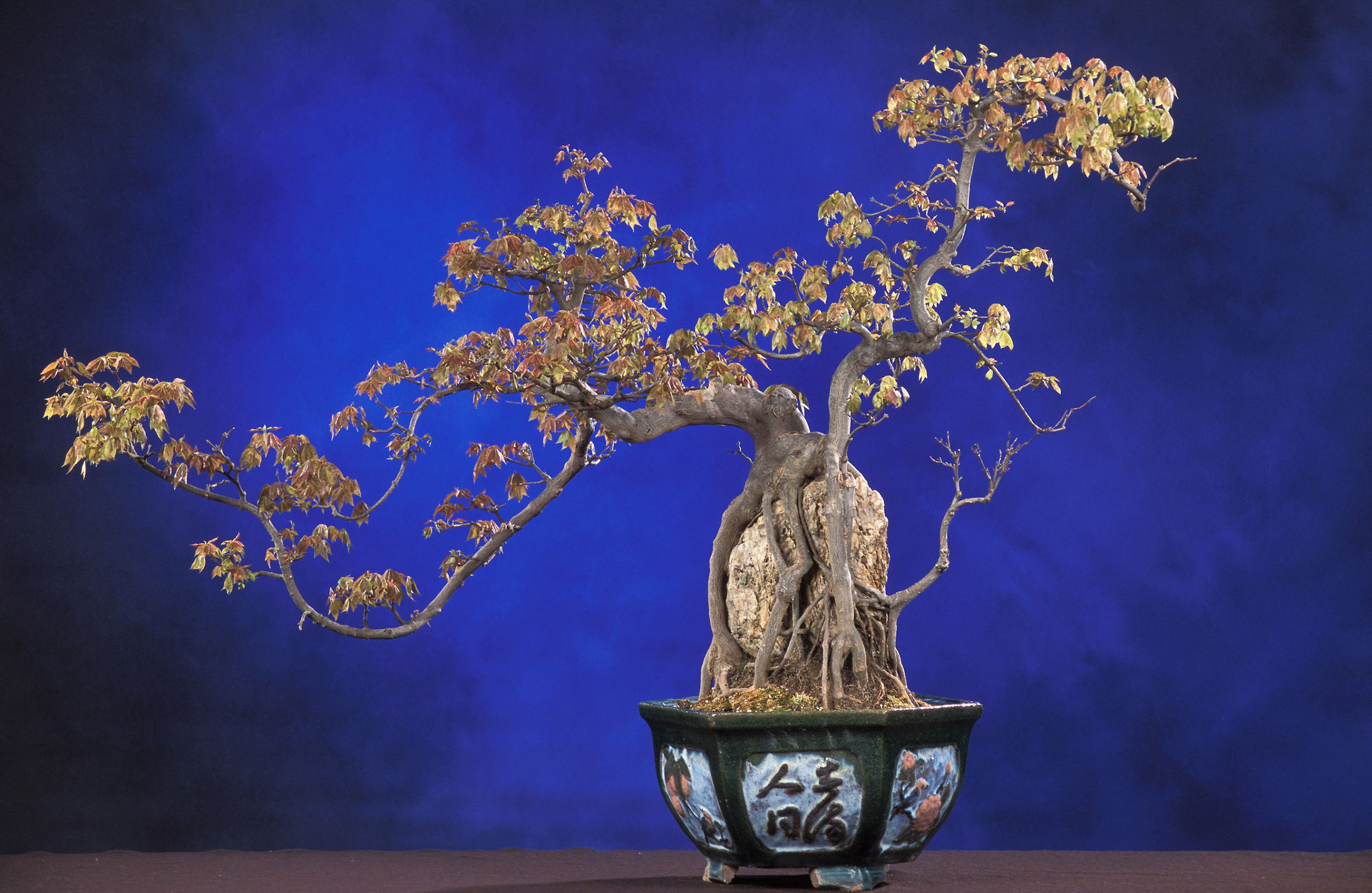 Bonsai HD Wallpaper
