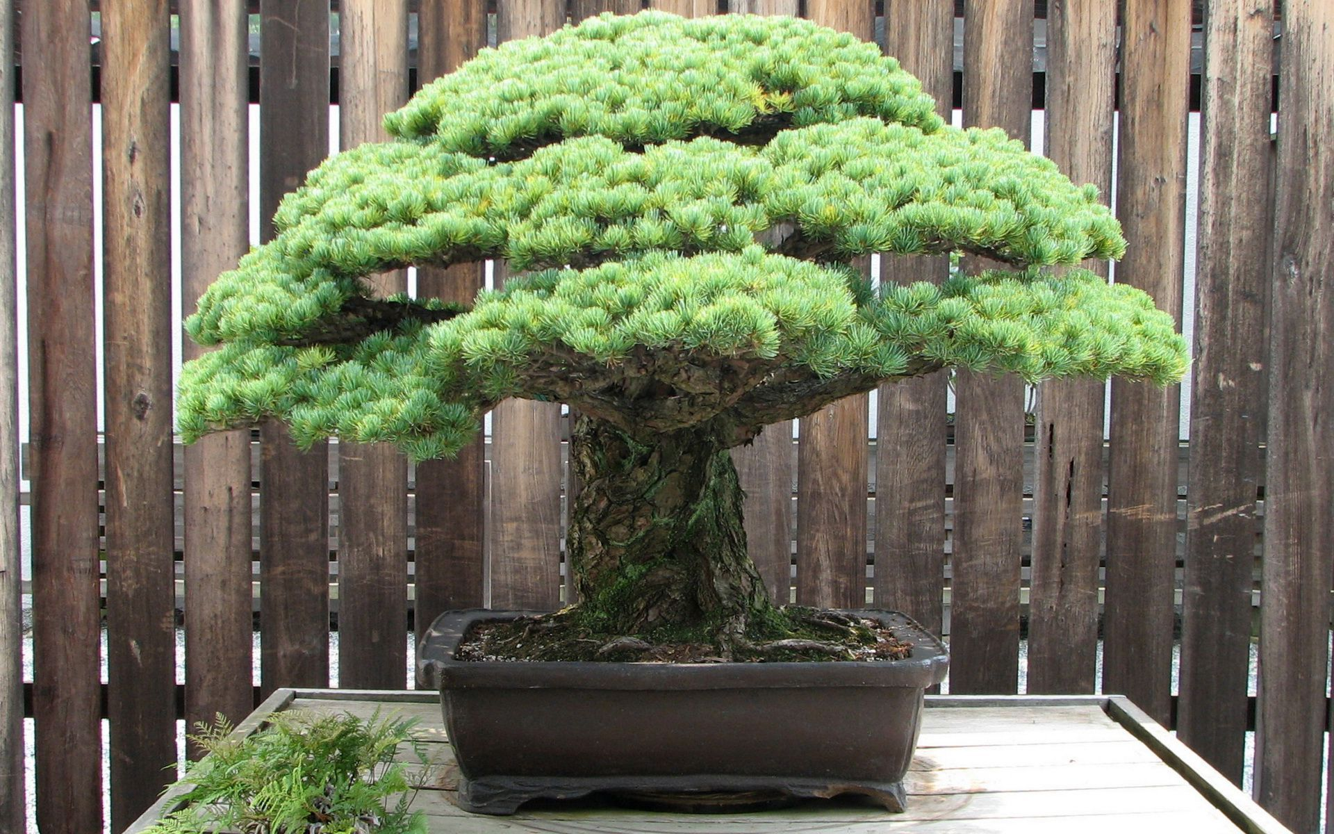 Bonsai Photos
