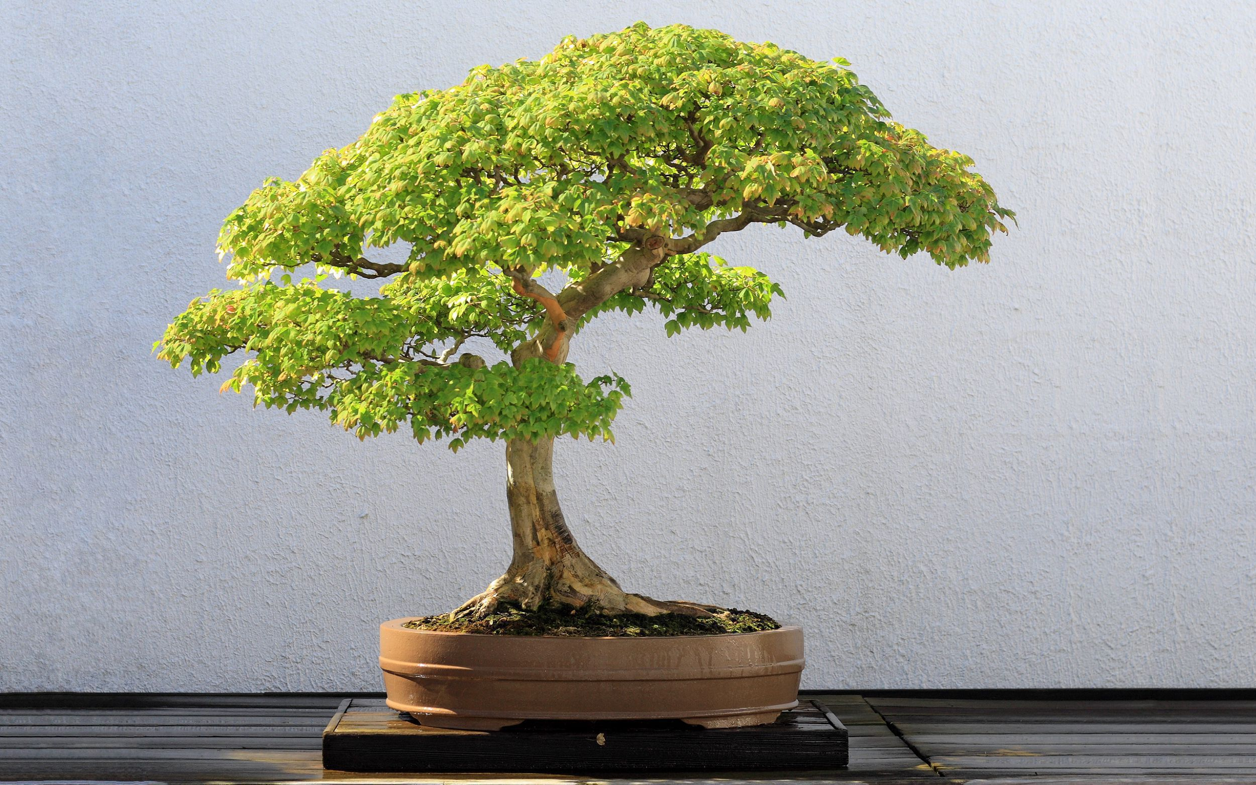 Bonsai Wallpapers HD