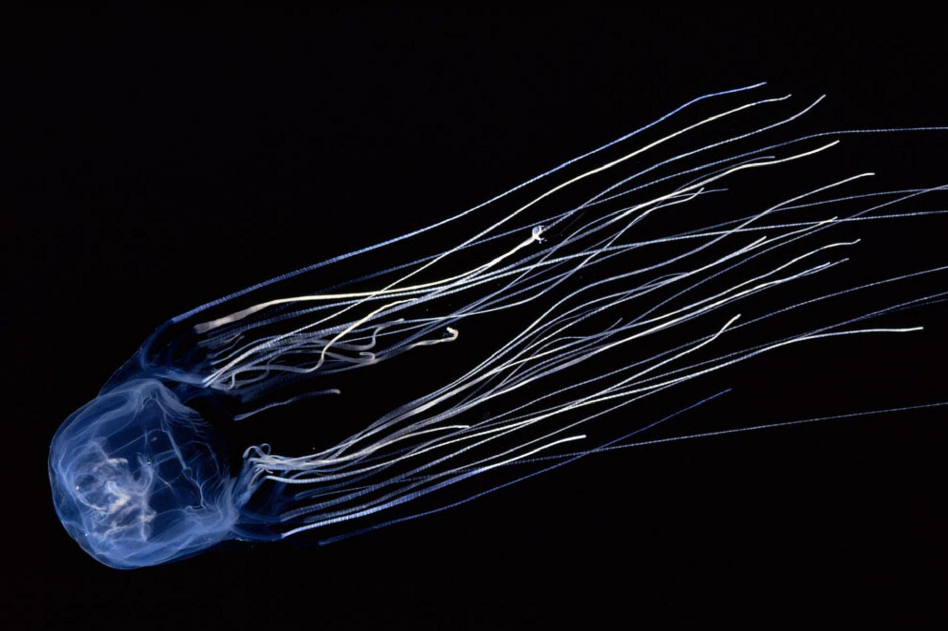Picture Box Jellyfish