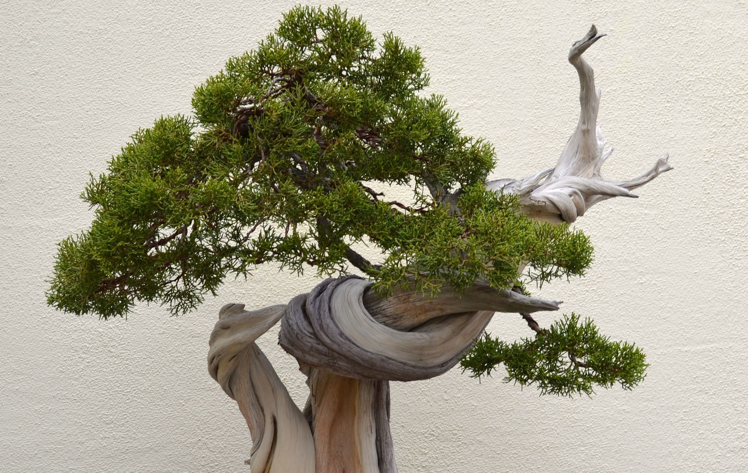Wide Bonsai