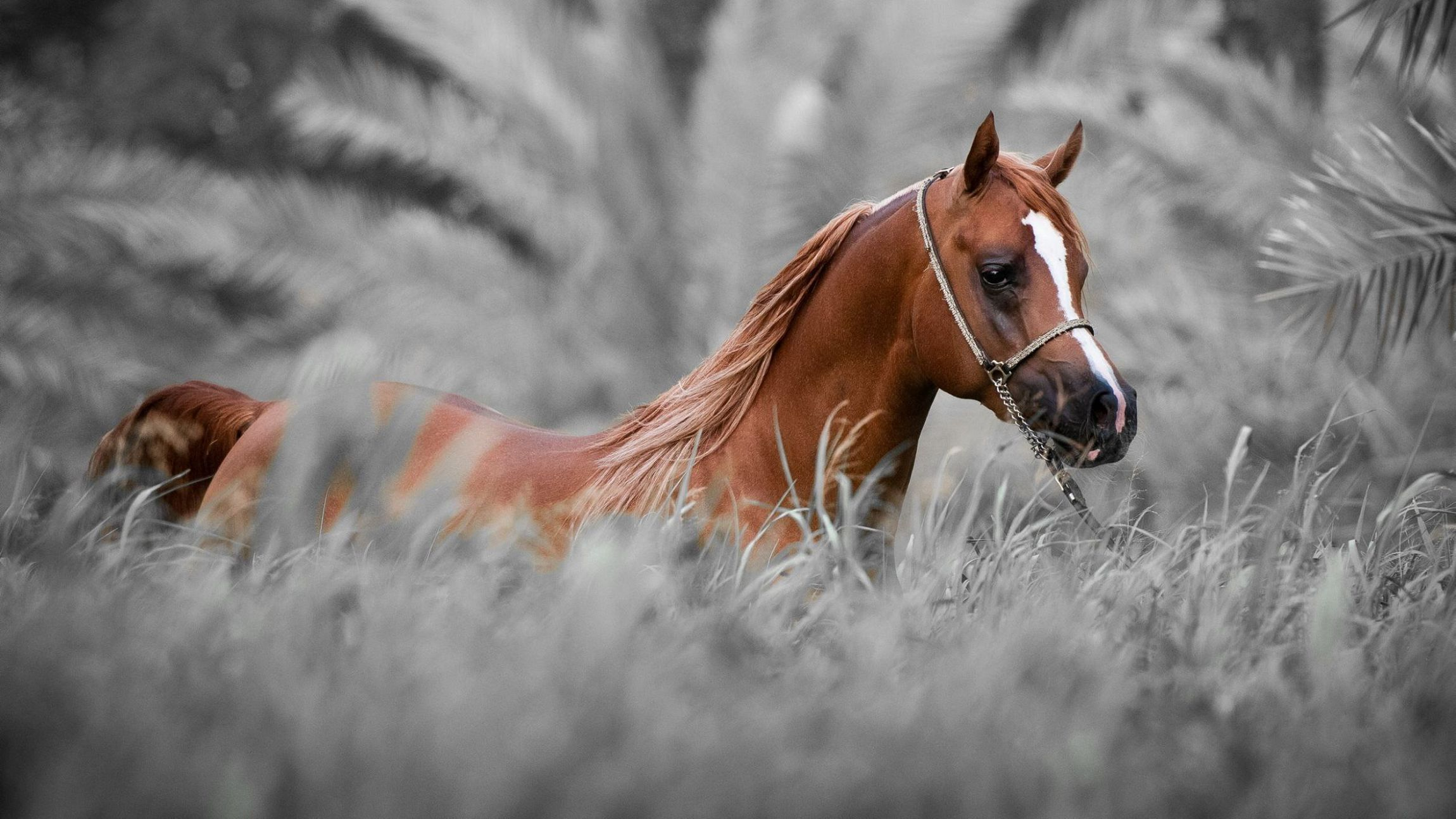 Arabian Horse High Definition Wallpapers