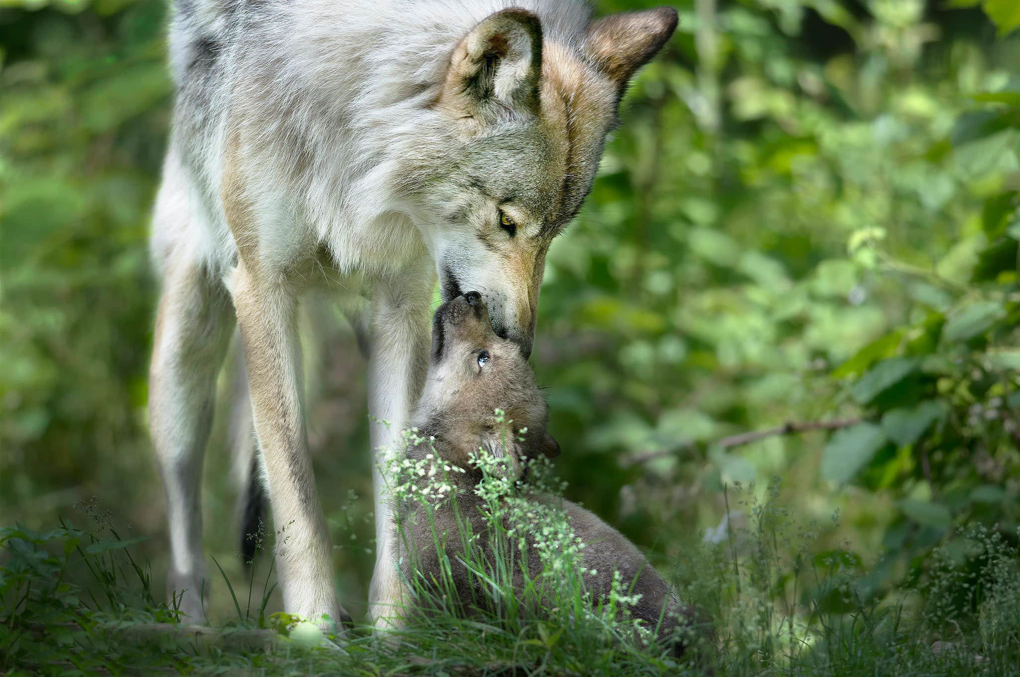 Baby Wolf High Quality Wallpapers