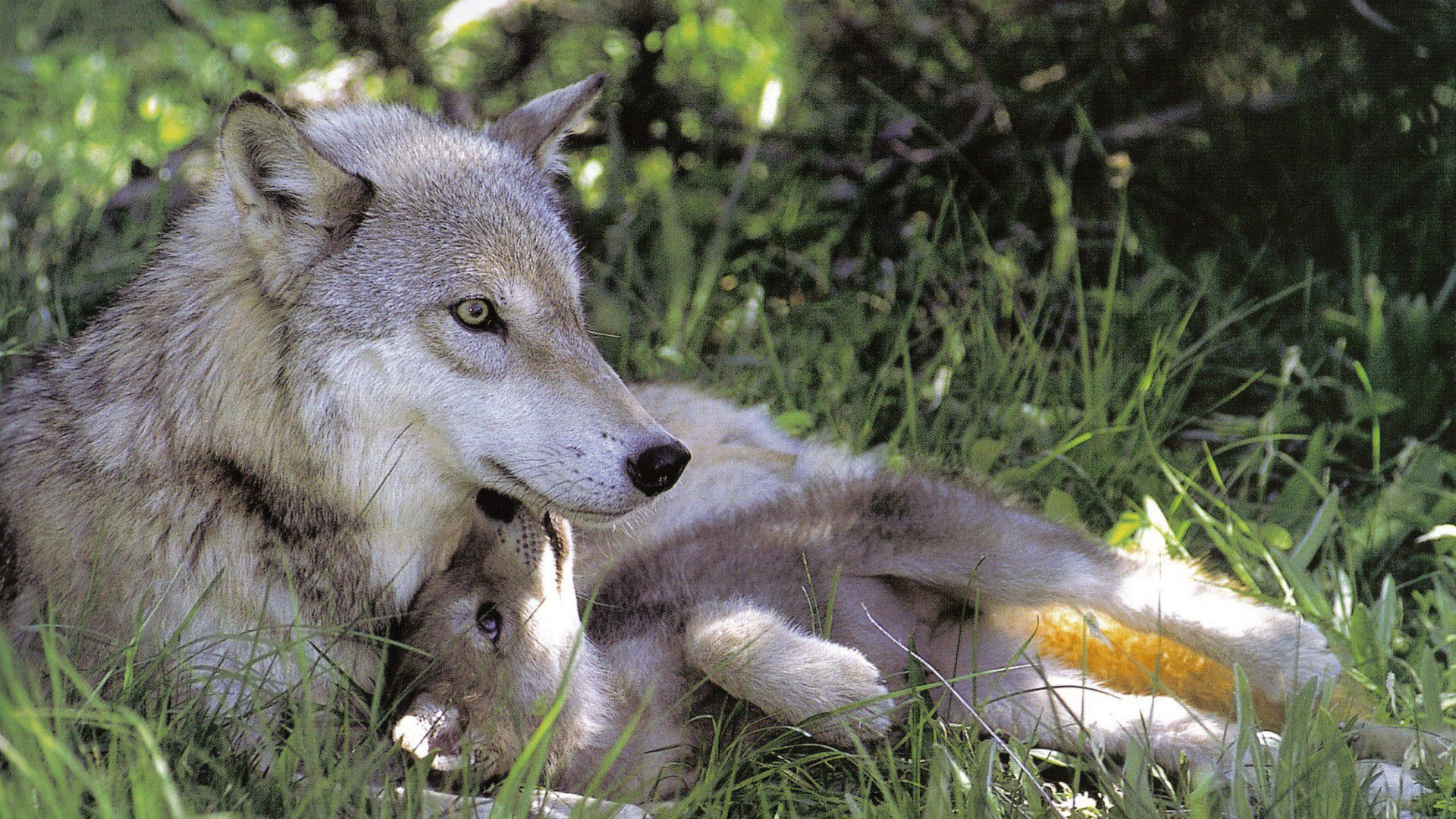 Baby Wolf Wallpaper Pack