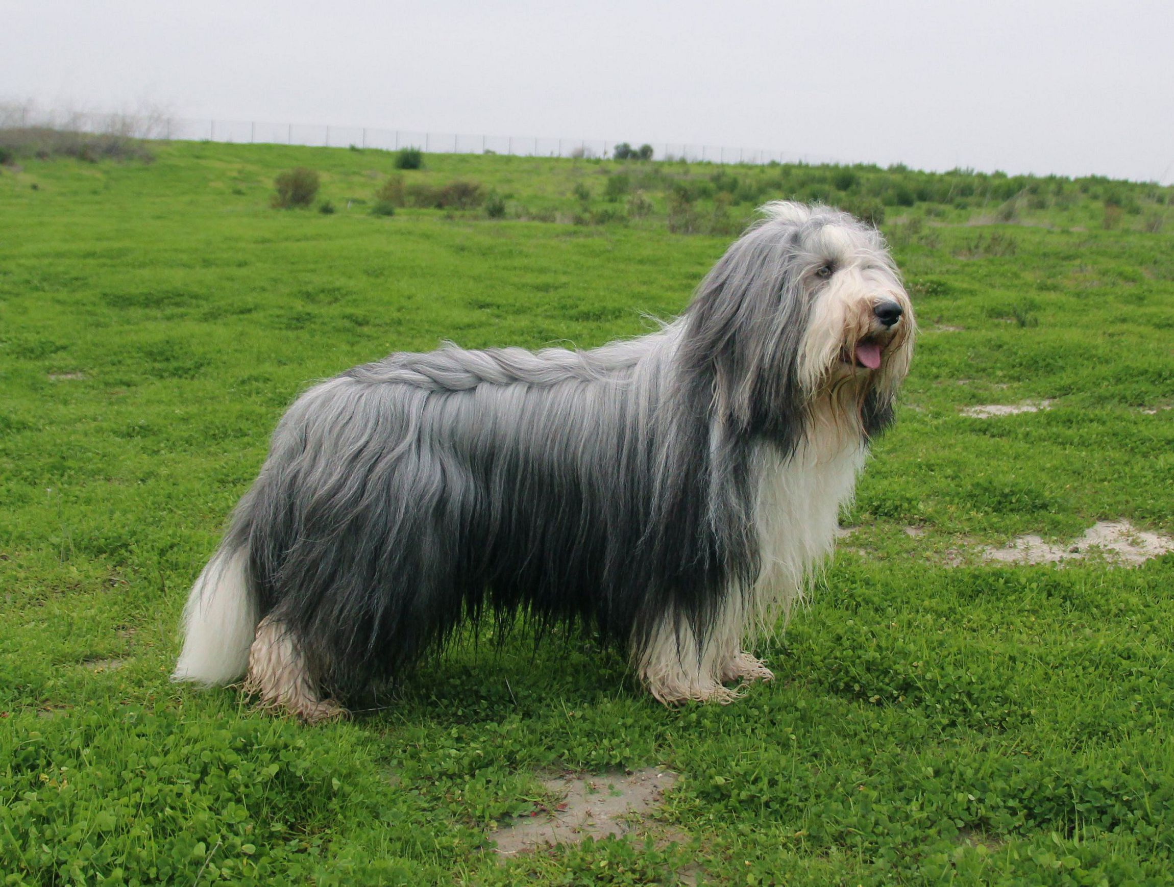 Bearded Collie Background