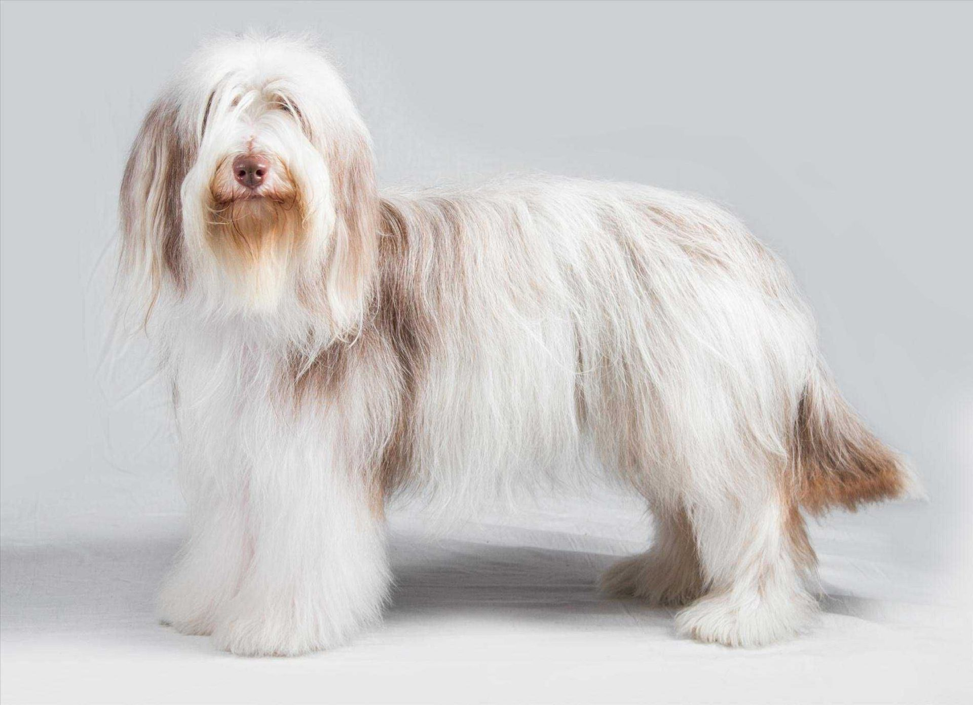 Bearded Collie Images
