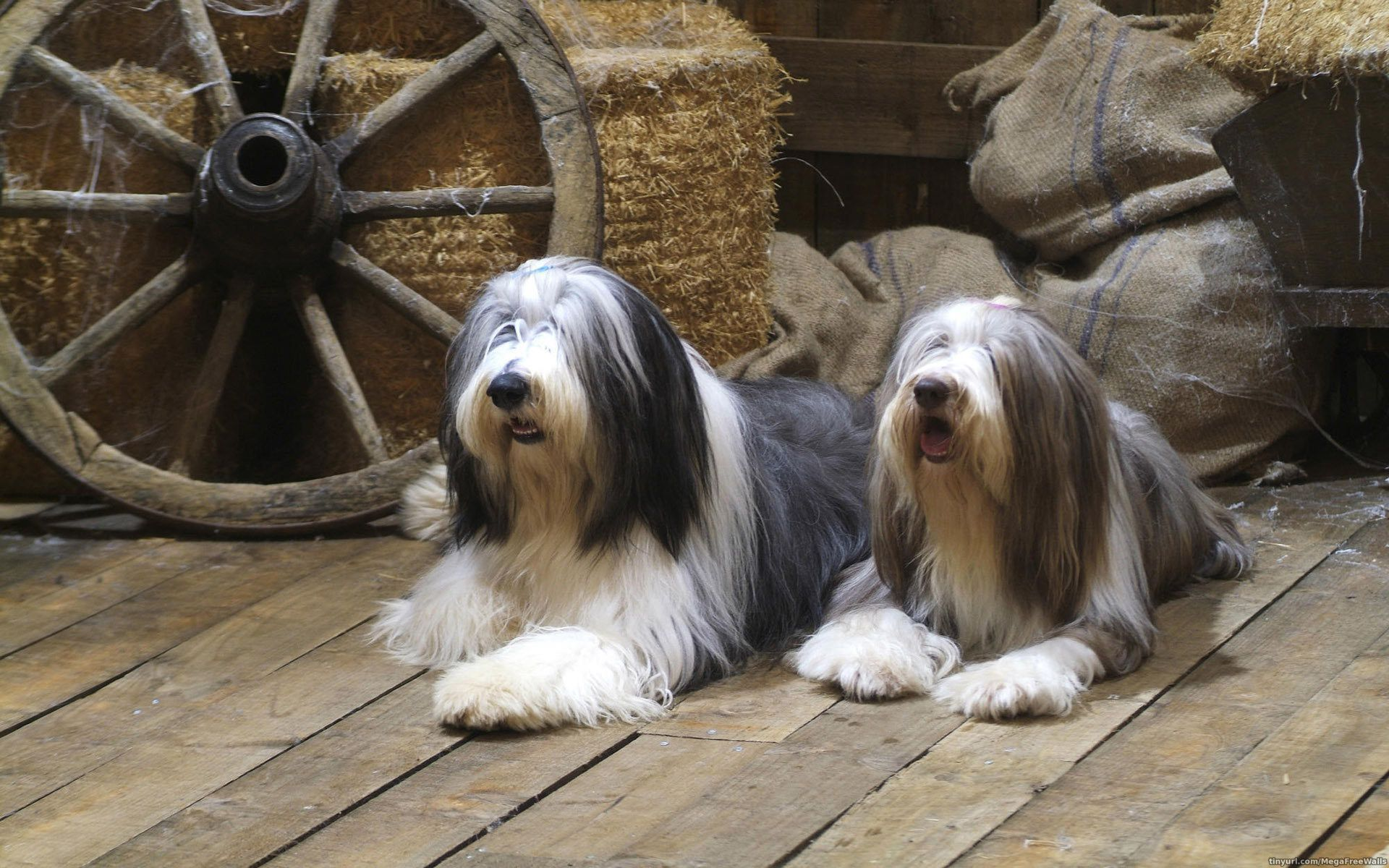 Bearded Collie Wallpapers HD