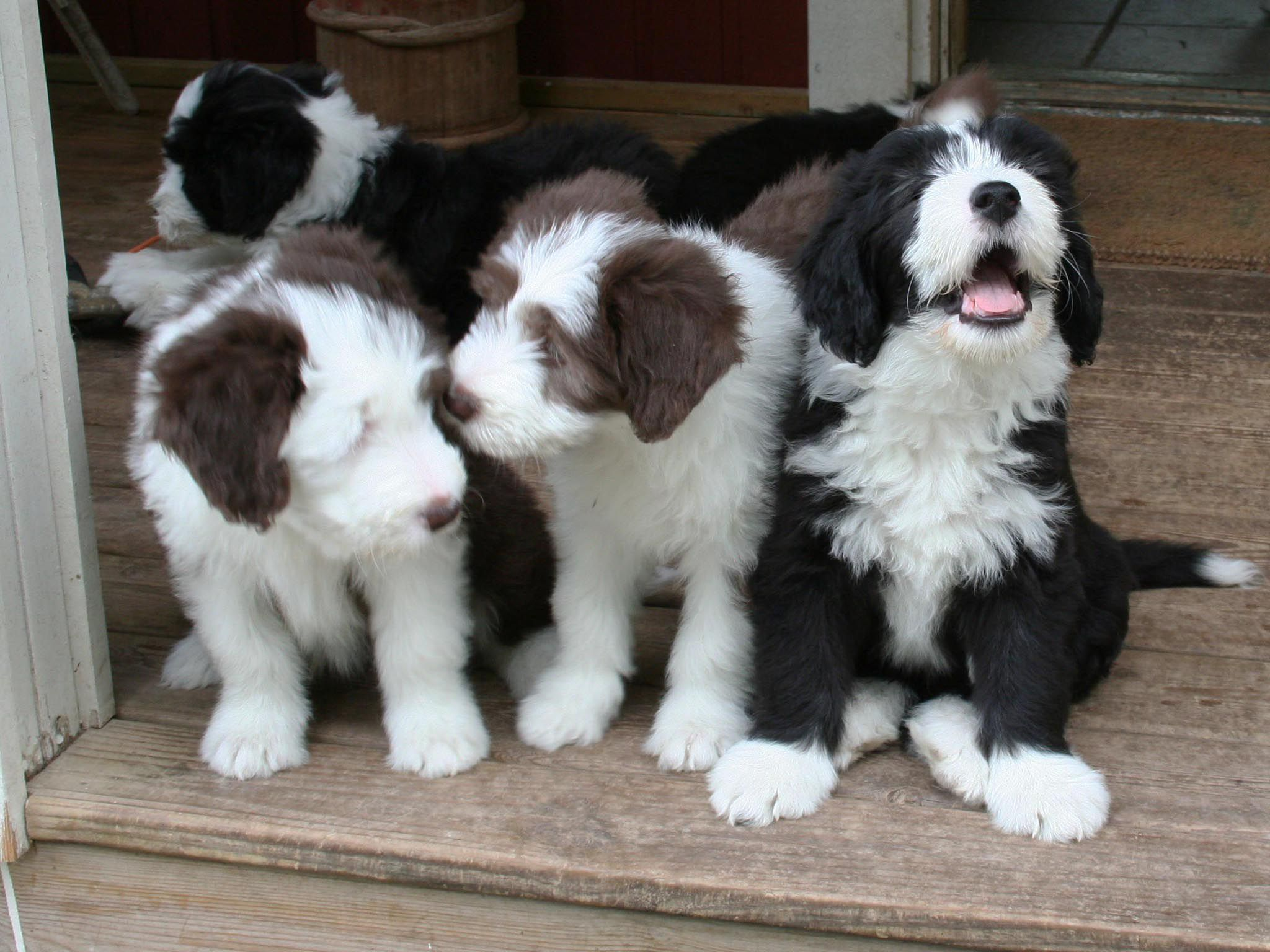 Bearded Collie In High Resolution