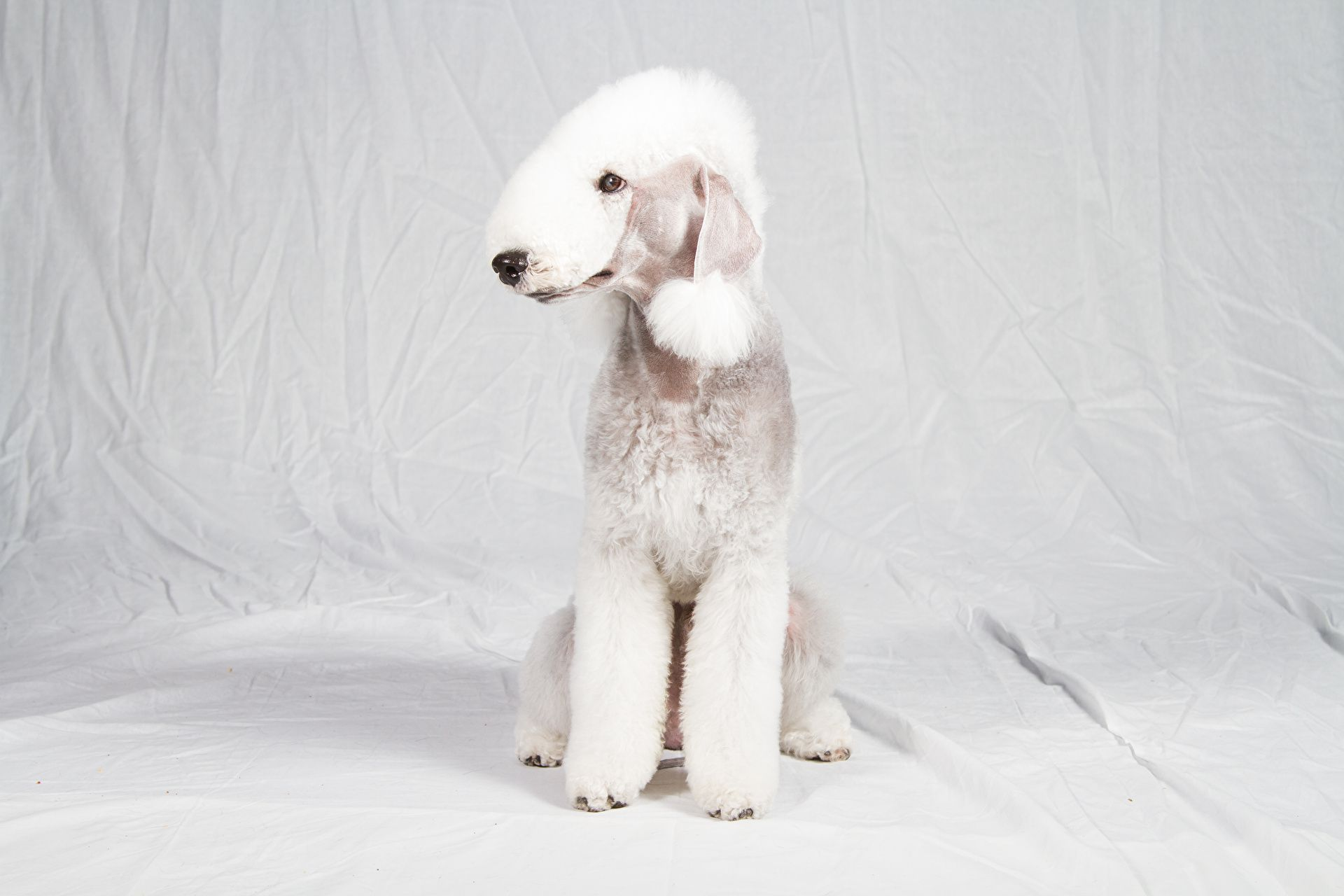 Bedlington Terrier High Quality Wallpapers