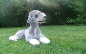 Bedlington Terrier Images