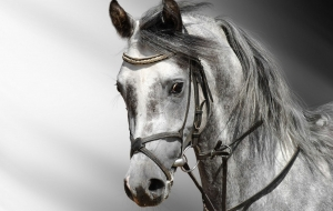 Picture Arabian Horse