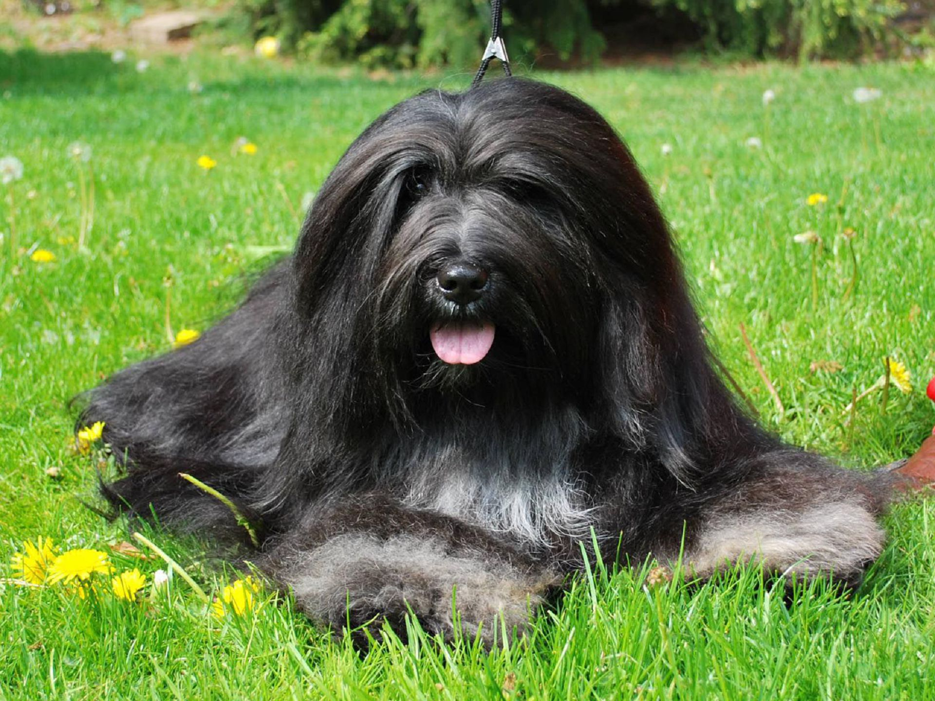 Picture Bearded Collie
