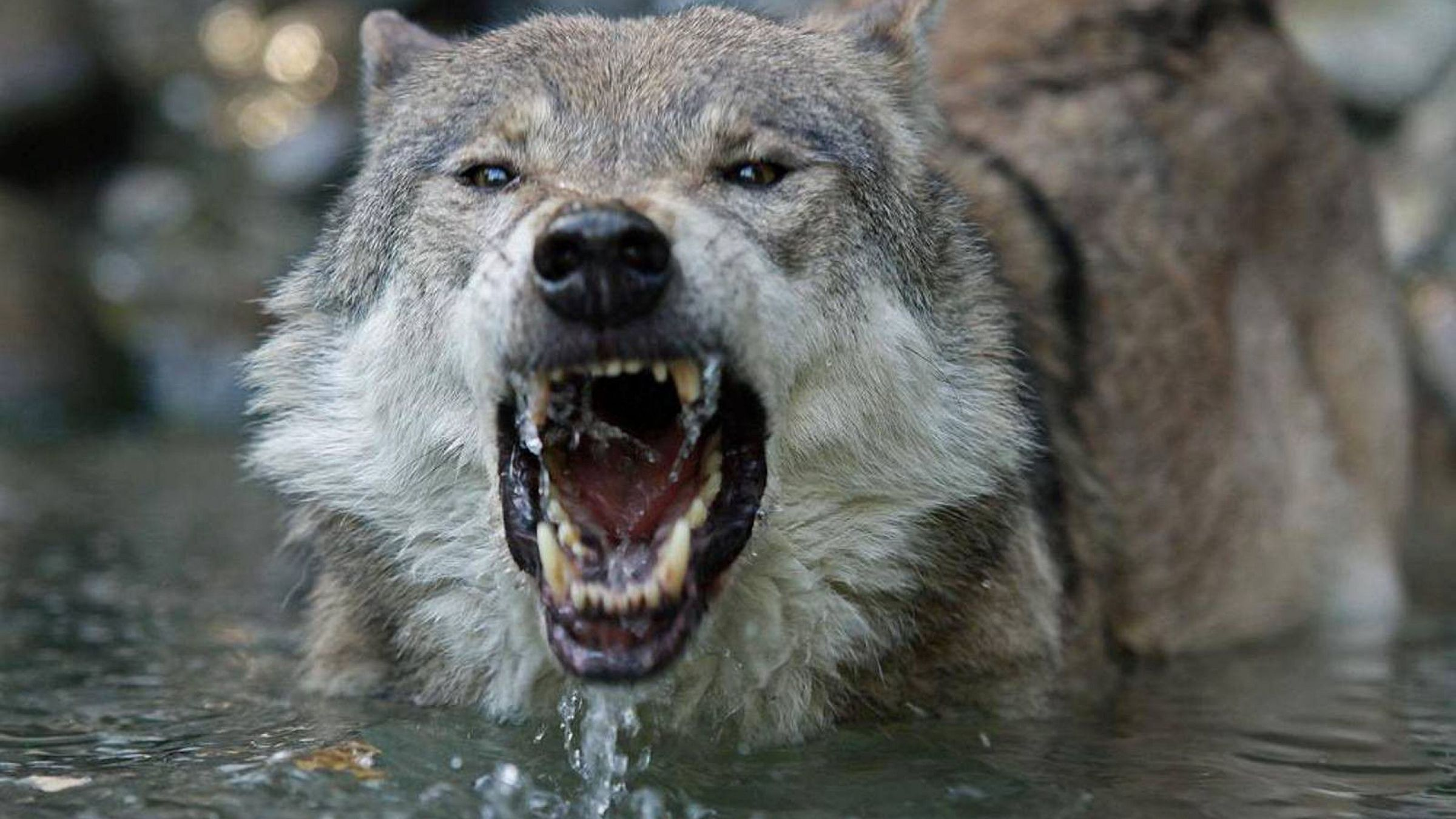 Angry Wolf Images