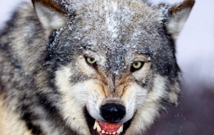Angry Wolf Pictures